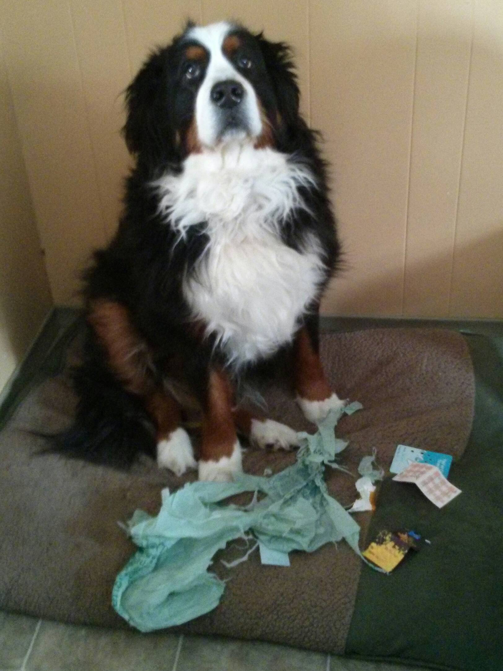 14095616844149 9 face of guilt Adorable Pictures of Nasty Dogs Creating Mess Around!