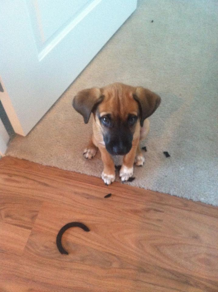 14095616853449 13 guilty puppy Adorable Pictures of Nasty Dogs Creating Mess Around!
