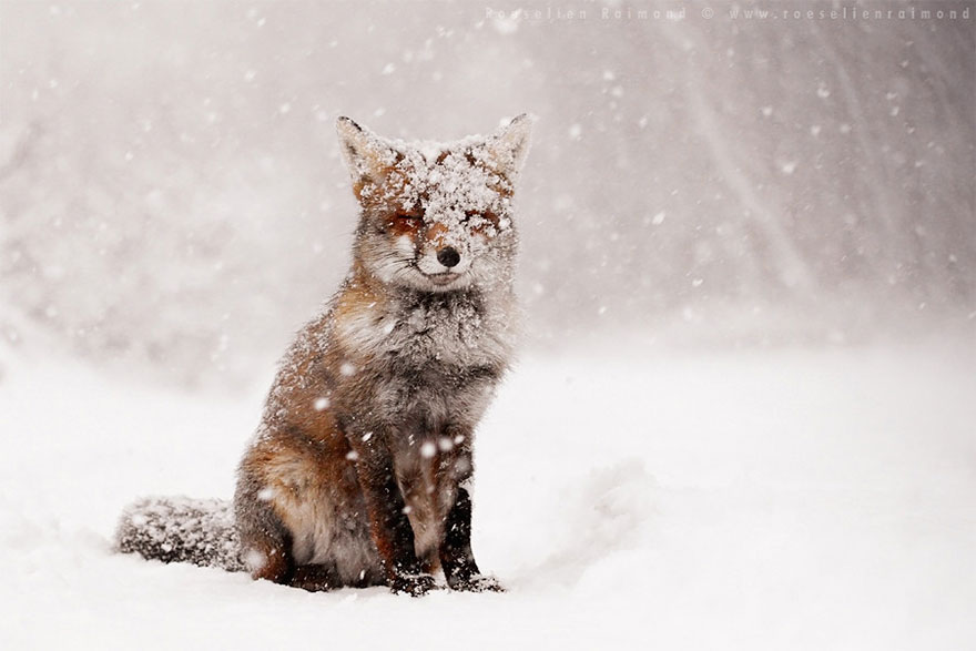 14095616902595 foxes roeselien raimond 2 Amazing Photoshoot Of Wild Fox Done By Roeselien Raimond!
