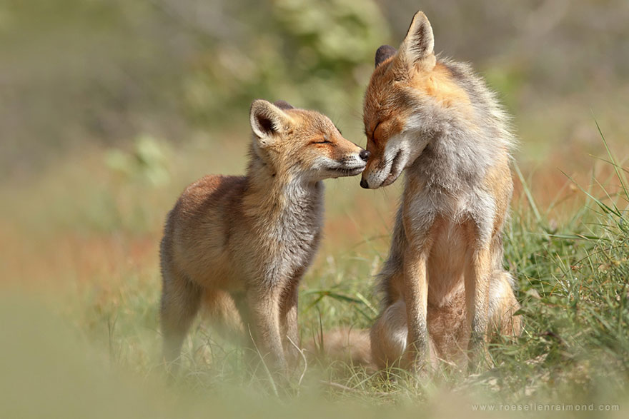 14095616903059 foxes roeselien raimond 4 Amazing Photoshoot Of Wild Fox Done By Roeselien Raimond!