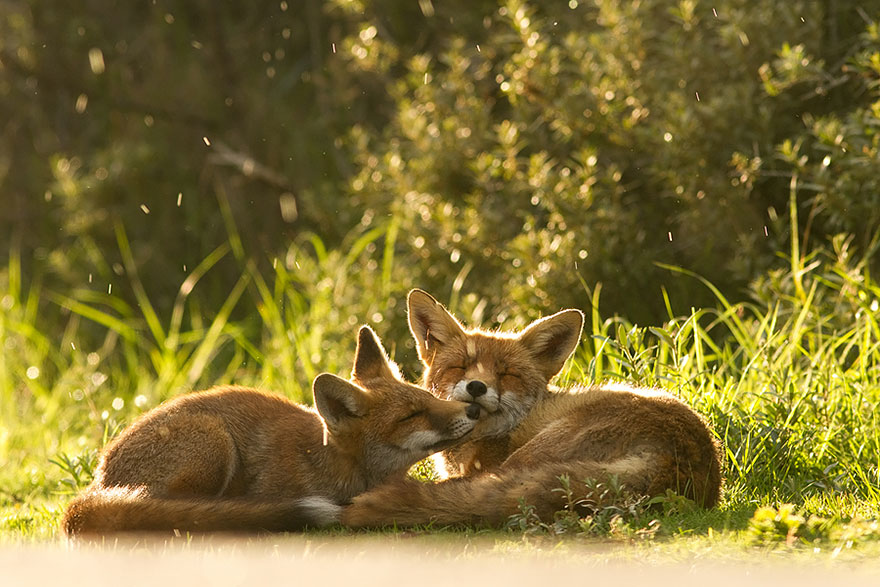 14095616917095 foxes roeselien raimond 11 Amazing Photoshoot Of Wild Fox Done By Roeselien Raimond!