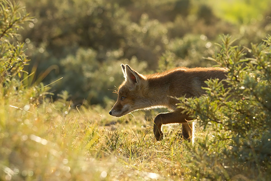 1409561692262 foxes roeselien raimond 25 Amazing Photoshoot Of Wild Fox Done By Roeselien Raimond!