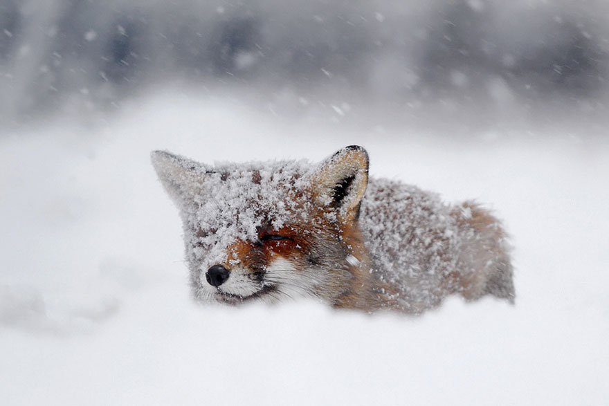 14095616922825 foxes roeselien raimond 5 Amazing Photoshoot Of Wild Fox Done By Roeselien Raimond!