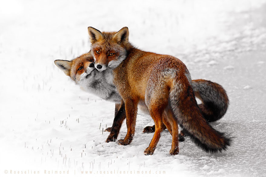 14095616927303 foxes roeselien raimond 23 Amazing Photoshoot Of Wild Fox Done By Roeselien Raimond!