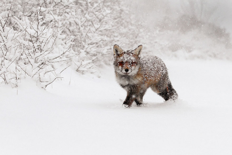 14095616928051 foxes roeselien raimond 10 Amazing Photoshoot Of Wild Fox Done By Roeselien Raimond!