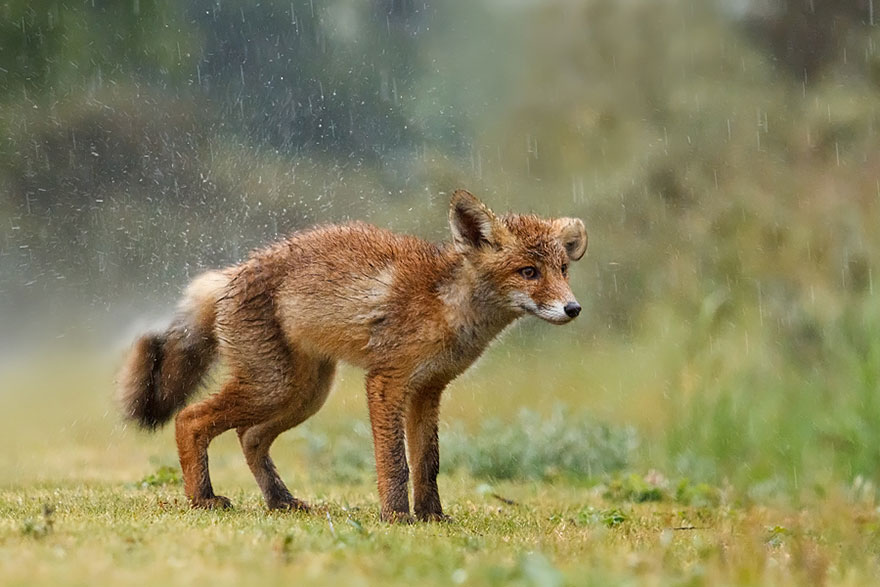 14095616929798 foxes roeselien raimond 3 1 Amazing Photoshoot Of Wild Fox Done By Roeselien Raimond!