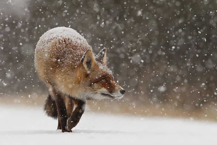 14095616933410 foxes roeselien raimond 17 Amazing Photoshoot Of Wild Fox Done By Roeselien Raimond!