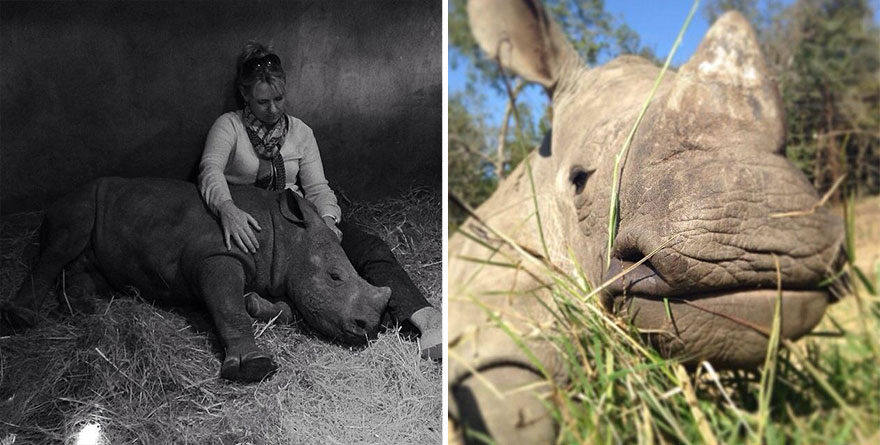 14095617803037 gertje baby rhino rescue hoedspruit endangered species centre 9 Baby Rhino Scared To Sleep Alone At Night After Losing Mother To Ruthless Poachers