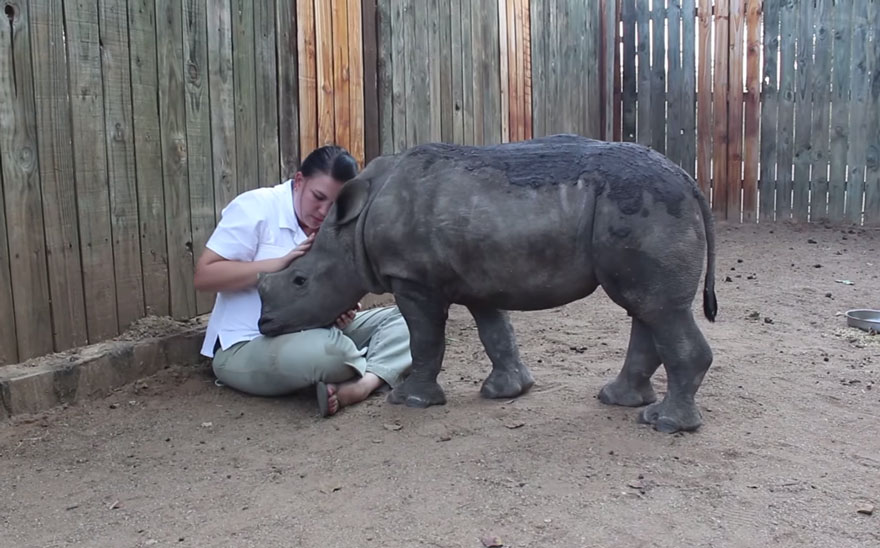 14095617803388 gertje baby rhino rescue hoedspruit endangered species centre 1 Baby Rhino Scared To Sleep Alone At Night After Losing Mother To Ruthless Poachers
