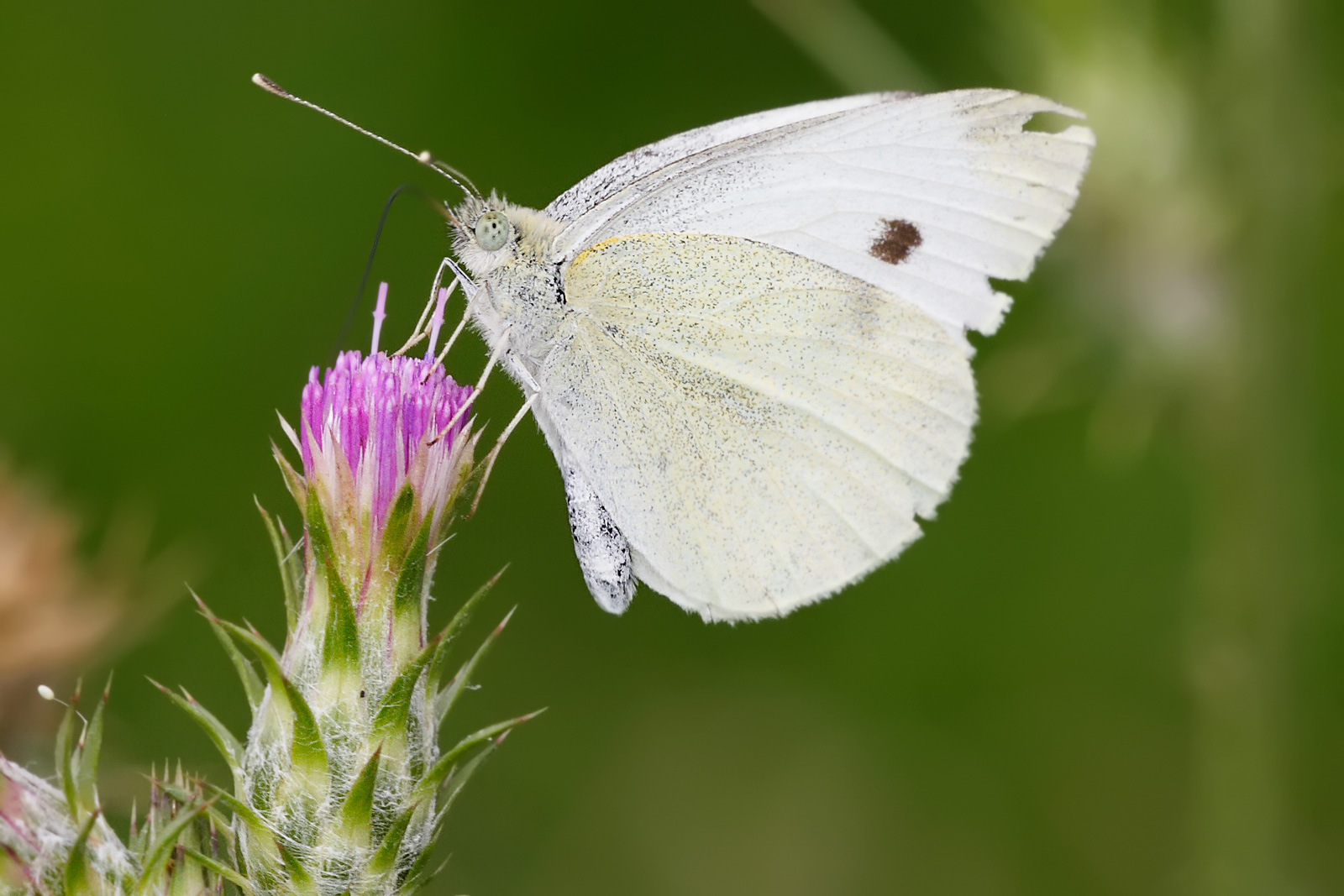 Small white feeding on thistle flower 20 Bizarre Superstitious Beliefs